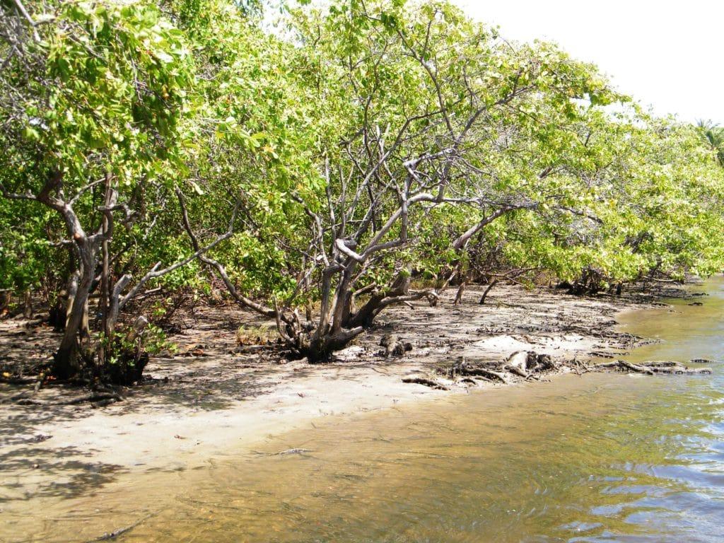 Os manguezais do RN